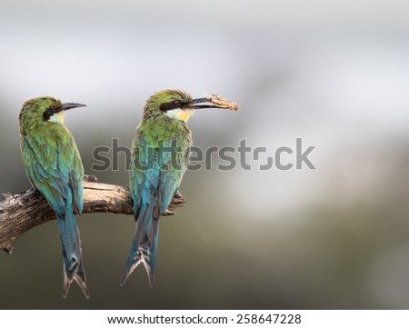 Little Bee Eater Lunch - stock photo