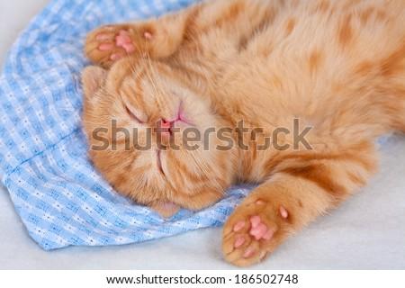 Little beige kitten sleeping on a blanket on back - stock photo