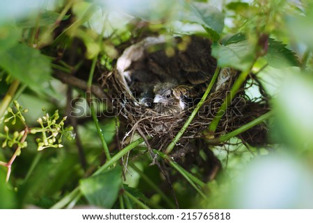 Little Bird Nestlings in the branch closeup - stock photo