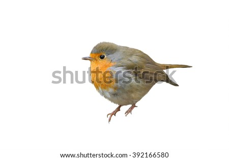 little bird the Robin redbreast sits pouting on an isolated white background - stock photo