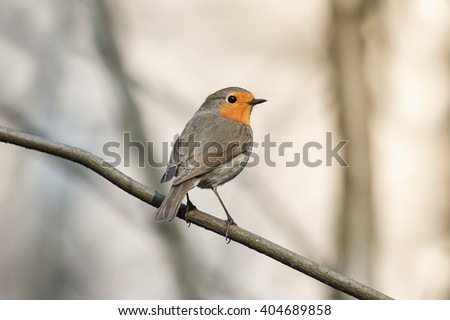 little bird the Robin redbreast sitting on a tree in spring Park - stock photo