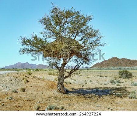 Little birds build huge nests in trees - Namibia, South-Western Africa - stock photo