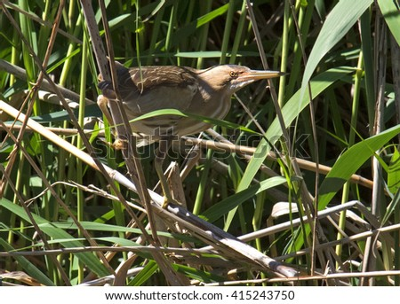 Little bittern, Ixobrychus minutus,female - stock photo