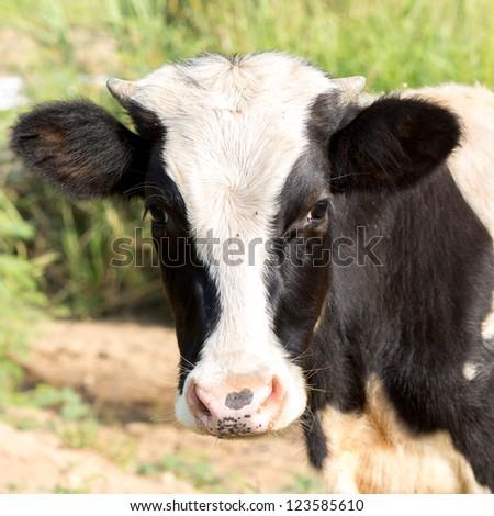 little black and white calf - stock photo