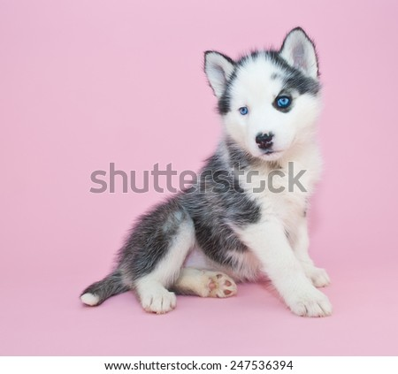 Little black and white Husky puppy sitting on a pink background with copy space.