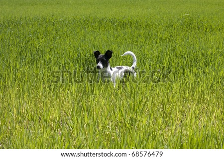 Little black and white spotted dog staying in the middle of the lawn