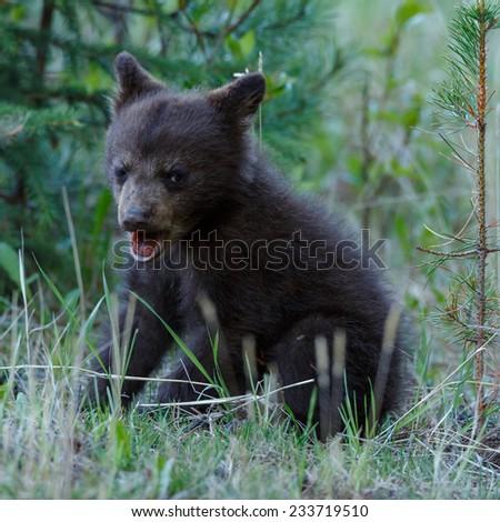 Little black bear cub - stock photo
