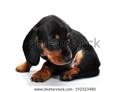Little black dachshund on a white background
