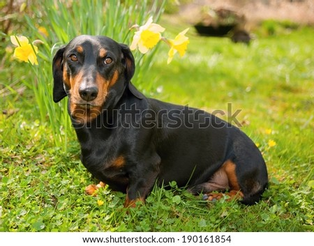 Little black dachshund on spring garden with flowers - stock photo