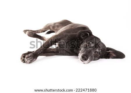 Little black dog lying down on a white background
