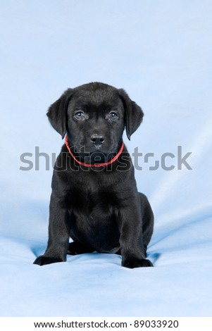 Little black labrador retriever puppy with red ribbon sitting on light blue