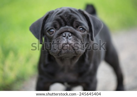 Little black pug puppy - stock photo