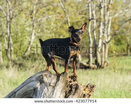 little black smooth-haired brown dog sitting on the log on the forest background