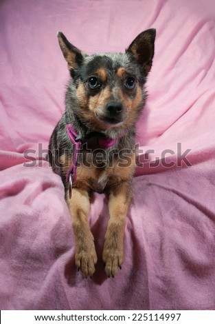 Little black with yellow dog with blue eyes lying on pink background