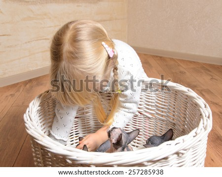 Little blond girl playing with a basket of grey and white sphynx kittens as she reaches in to lift one out - stock photo