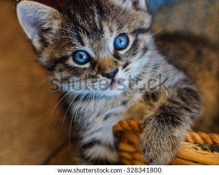 Little blue eyes. This playful little kitten stopped just long enough to capture the gaze of those deep blue eyes. - stock photo