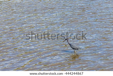 Little blue heron. (Egretta caerulea)