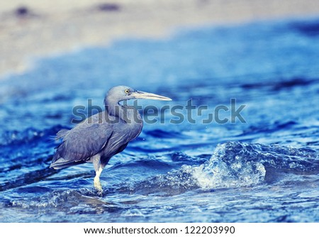 Little blue heron (Egretta caerulea) fishing - stock photo