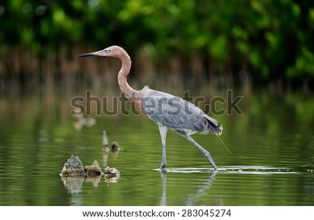 Little Blue Heron (Egretta caerulea) goes on water on green natural background - stock photo