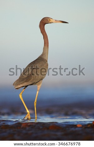 Little Blue Heron, Egretta caerulea, in the waqter, eaqrly morning with, sun, dark blue sea, Florida USA - stock photo