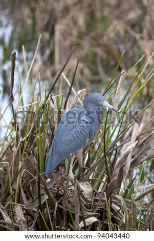 Little Blue Heron (Egretta caerulea) resting in a wetland area of south Florida - stock photo