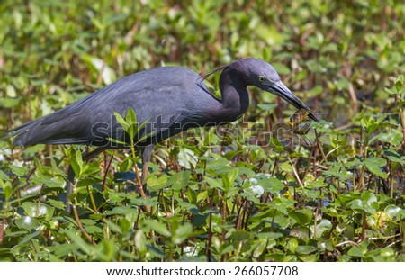 Little blue heron (Egretta caerulea) with caught shrimp in a swamp, Brazos Bend state park, Needville, Texas, USA. - stock photo