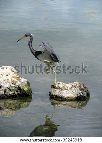 Little blue Heron, Florida Keys, USA - stock photo