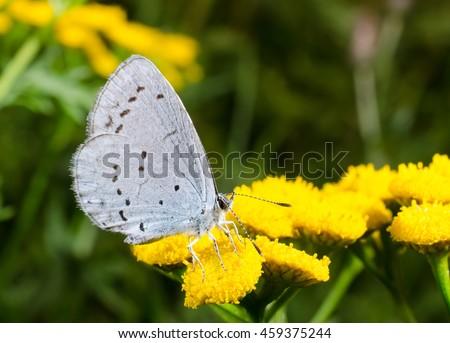 little blue on mugwort close-up - stock photo