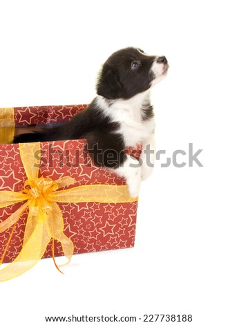 Little border collie puppy begging to get out of a christmas gift - stock photo
