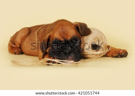 little boxer puppy sleeping on a yellow background with a ball of rope