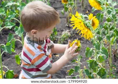Little boy exploring sunflower on the field - stock photo