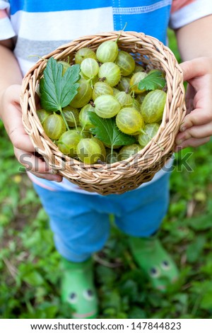 little boy picking gooseberries