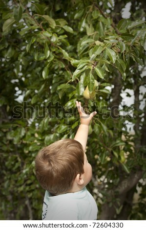 little boy reaching up to pick pear from tree - stock photo