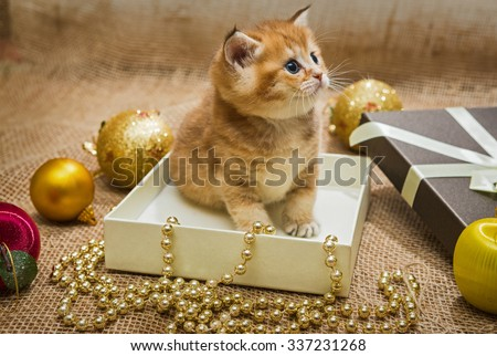 Little British kitten and Christmas ornaments on a fabric background