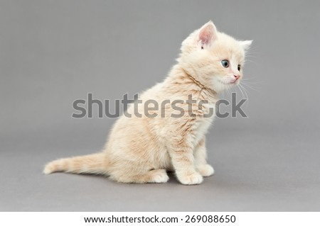 Little British kitten cream color with blue eyes on a gray background - stock photo