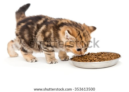 Little British kitten eats dry food isolated on white