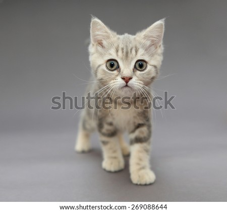 Little British kitten marble color with big eyes on a gray background - stock photo