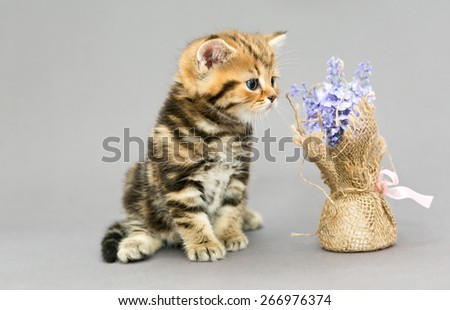 Little British kitten marble colors  and flower on a gray backgroun - stock photo