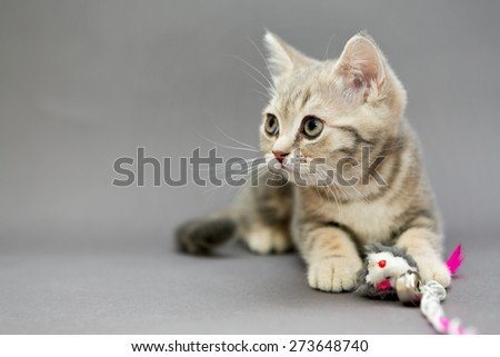Little British kitten marble colors  and toy on a gray background - stock photo