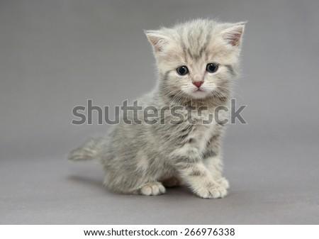Little British kitten marble colors on a gray backgroun - stock photo