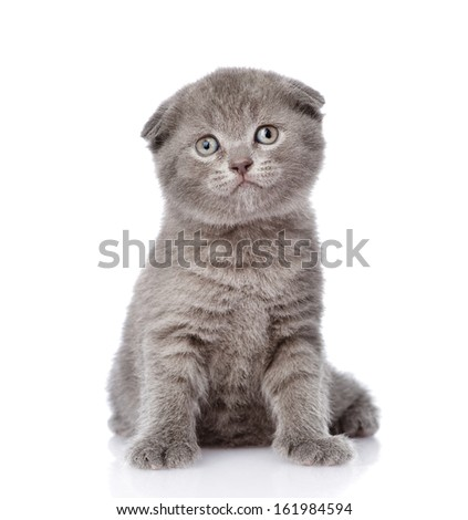 little british shorthair kitten sitting in front. isolated on white background - stock photo