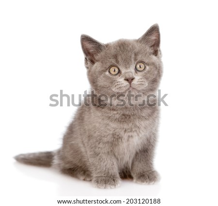 little british shorthair kitten sitting in front. isolated on white background