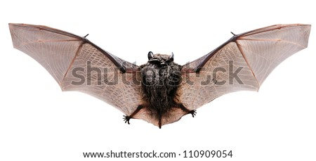 Little brown Bat, view from a back.  Isolated on white - stock photo