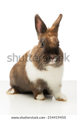Little brown bunny sitting isolated on white background