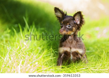 Little brown-colored terrier playing in the grass