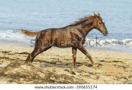 little brown colt with a short black mane runs on a sandy beach near the sea