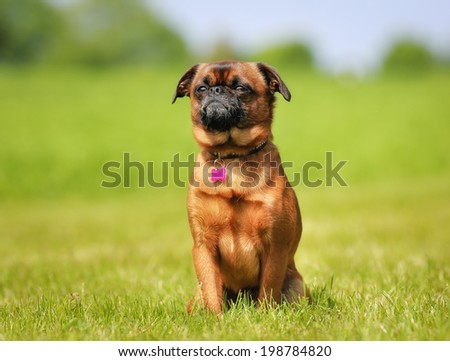 Little brown dog sitting on the grass on a sunny summer day.