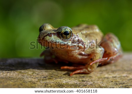 Little brown frog on dry tree closeup photography - stock photo