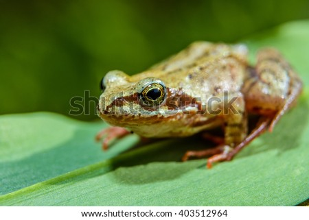 Little brown frog on green leaf closeup photography - stock photo