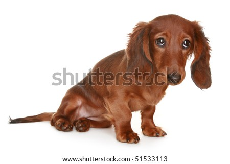 Little brown long haired Dachshund dog